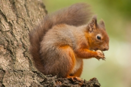 9-red-squirrel-on-brownsea-island-31-